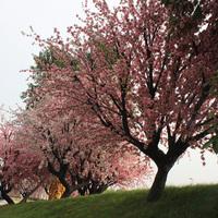 佛山海逸仿真桃花树案例