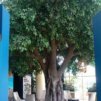 长隆造景仿真室内榕树