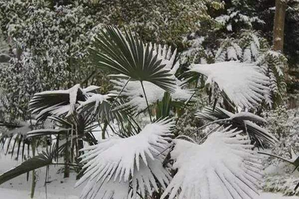 仿真棕榈树抗风雪