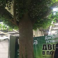 俄罗斯仿真榕树