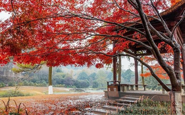 红枫树.jpg