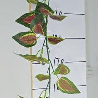 紫苏叶藤条