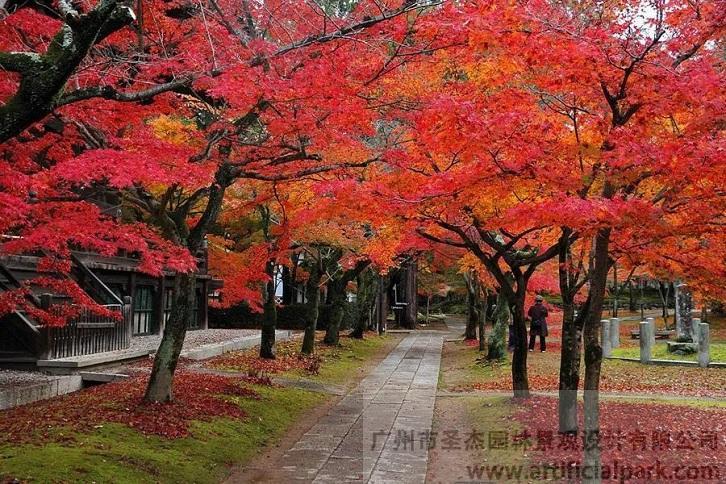 日本红枫.jpg
