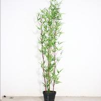 2米紫竹盆景