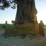 迪拜工程仿真榕树